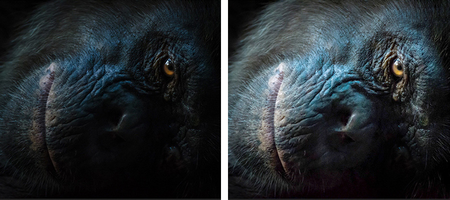 Side by side photos of a gorilla face with one side lightened to reveal more detail