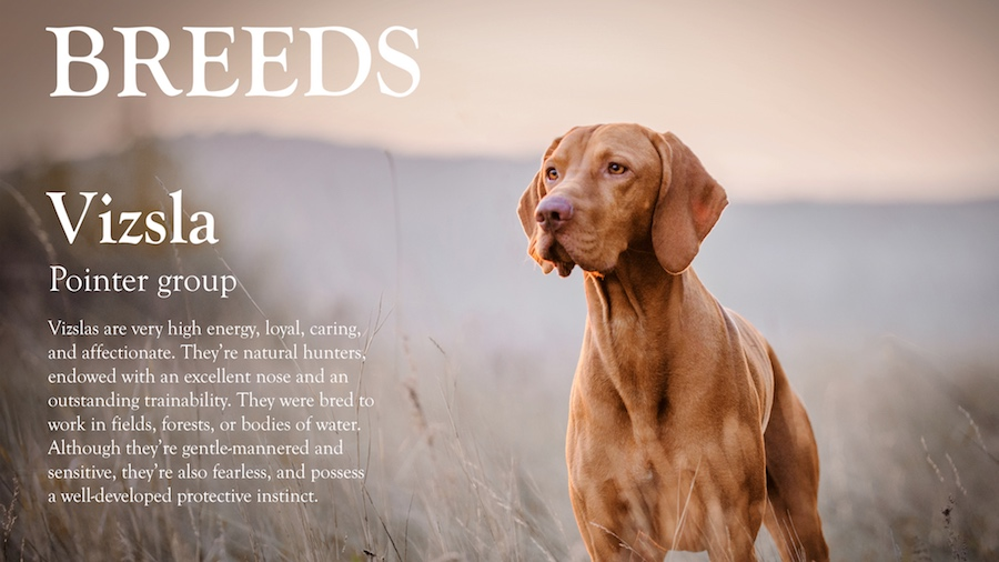 Final composition with text description of the Vizsala breed of dog alongside the color adjusted dog standing in a wheat field
