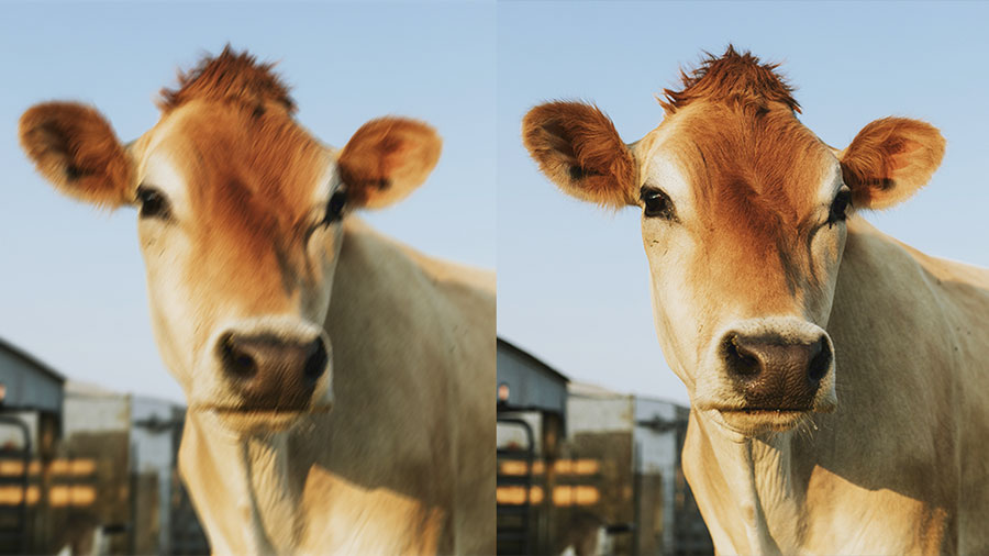 Side by side images of a cow with one side blurry and the other in focus