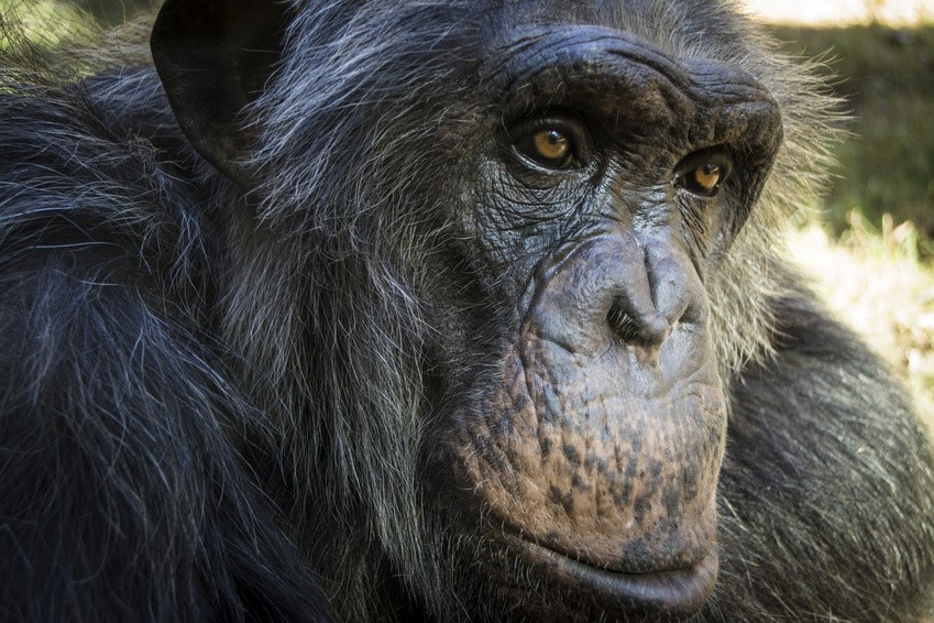 Closeup of a chimpanzee